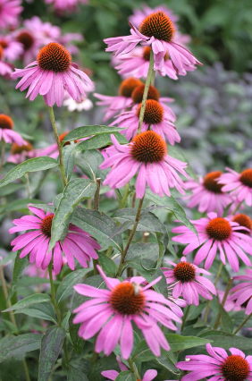 echinacea Vision and Values